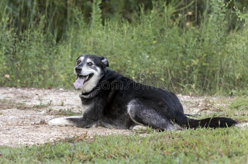 Senior Husky Retriever mixed breed dog laying down. Older unneutered male black and tan Husky Lab mix mutt dog with graying muzzle, outdoors on leash. Dog rescue stock photos