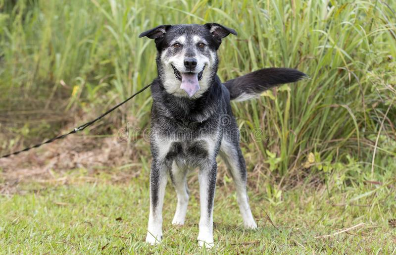 Senior Husky Retriever mixed breed dog. Older unneutered male black and tan Husky Lab mix mutt dog with graying muzzle, outdoors on leash. Dog rescue pet stock image