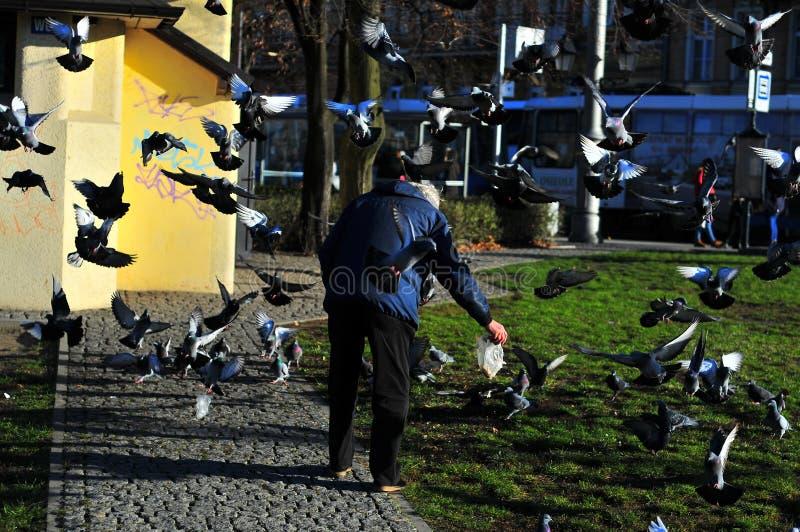 Older woman feeding pigeons. Wroclaw, Poaland, 2018 stock photos