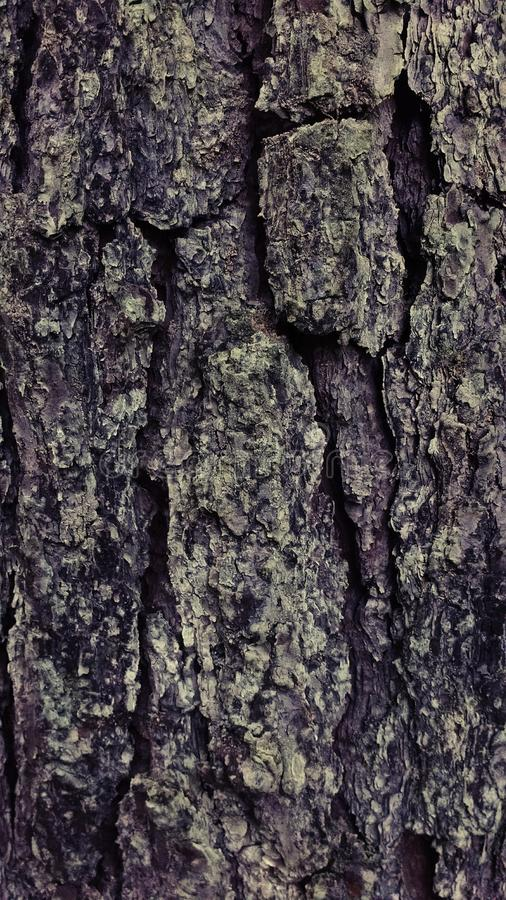 oldest tree royalty free stock photography