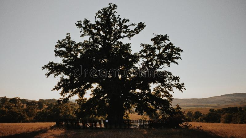 Oldest Tree from Romania captured in summer daylight with mountains in the background. Silhouette of the oldest tree from Romania that is over 900 years old. It royalty free stock photo