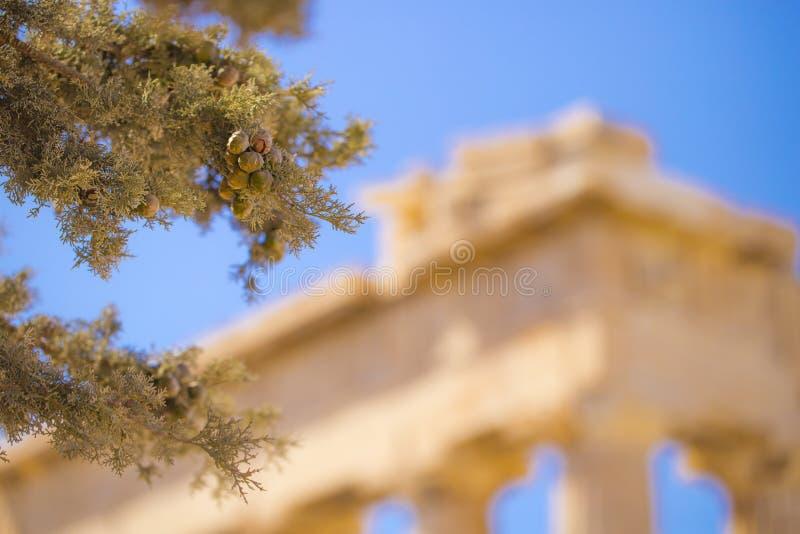 Olea e colonna dell'albero fotografia stock libera da diritti