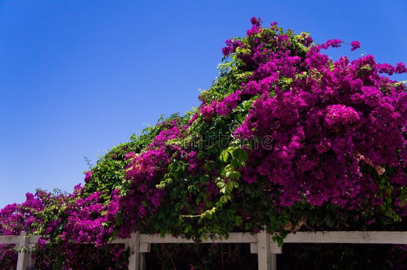 Oleander immagini stock libere da diritti
