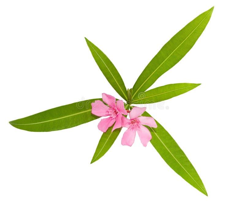 Download Oleander stock image. Image of bush, foliage, oleander - 26590733