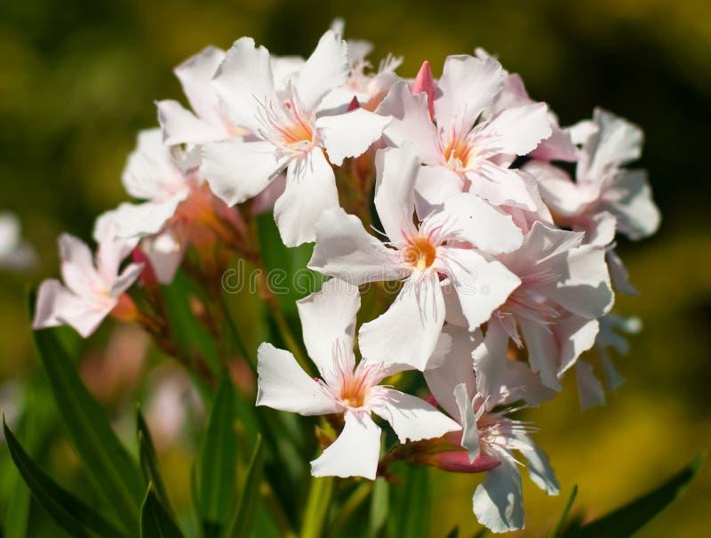 Download Oleander stock photo. Image of natural, flower, nature - 26812280