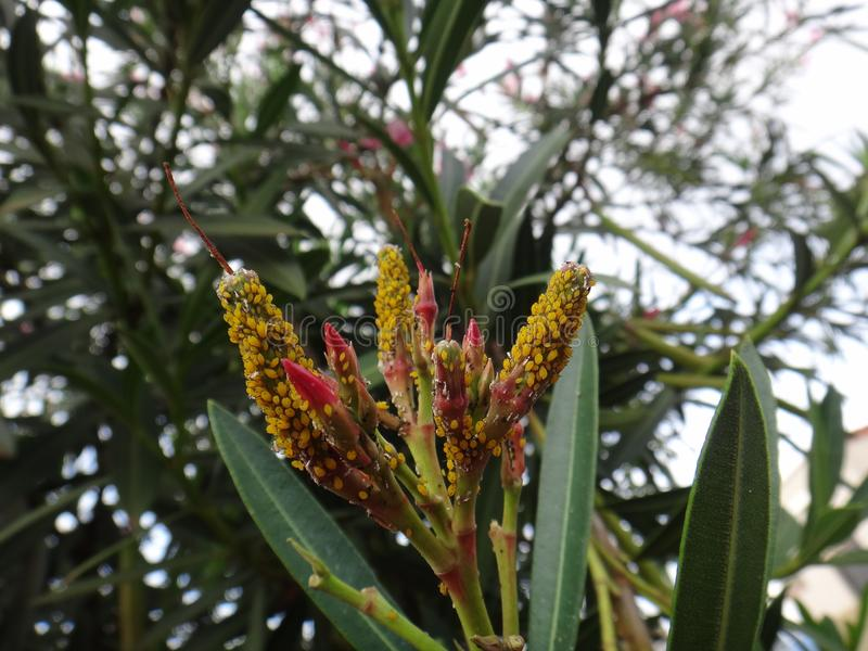 Oleander aphids in oleander plant. Oleander aphid, milkweed aphid, sweet pepper aphid, nerium aphid or plant lice - The aphid is a minute bug that feeds by stock photography