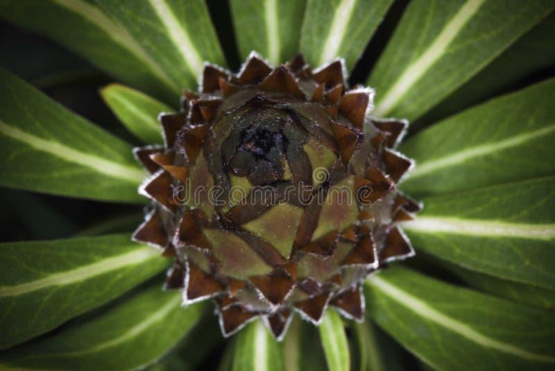 Oleander-Blatt Protea Protea neriifolia Blumenzwiebel an der Nahaufnahme lizenzfreies stockbild