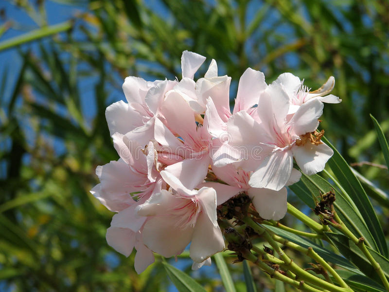 Oleander do Nerium fotografia de stock royalty free