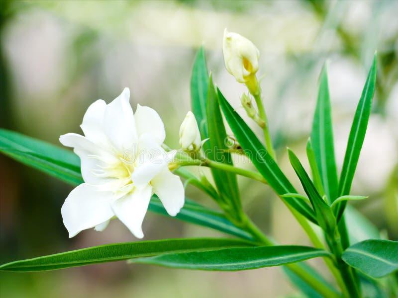 Oleander en giftig vintergrön buske för gammal värld som är brett fullvuxen i varma länder för dess klungor av vita blommor arkivbilder