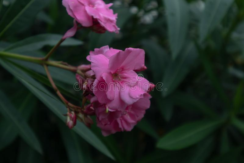 Nerium oleander-Nerium indicum Mill. Oleander is an evergreen erect large shrub of the genus oleander, up to 5 m tall, with greige branches, prismatic branches stock photo