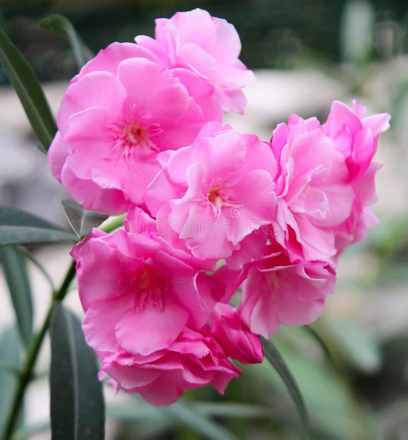 Download Oleander flower stock photo. Image of flower, flora, garden - 22309564