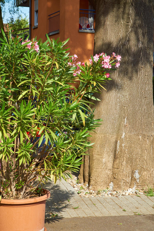 Oleander in a flowerpot royalty free stock photography