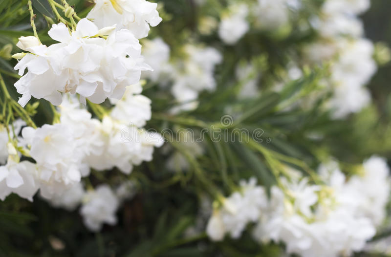 Download Oleander flowers stock photo. Image of nature, bloom - 34103406