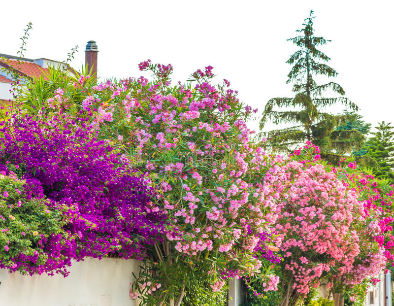 Oleander flowers and bougainvillea glabra royalty free stock images