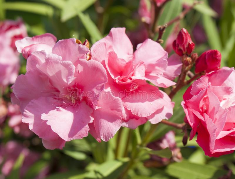 Pink oleander flowers stock photos