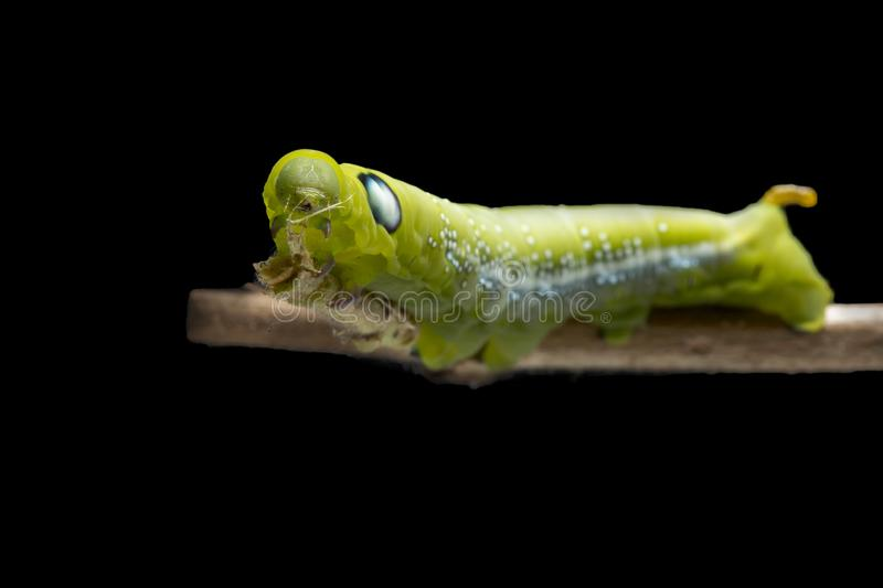 Oleander hawk-moth Caterpillar or Army green moth Caterpillar Daphnis nerii, Sphingidae climb at plant, isolated on black royalty free stock images