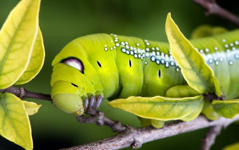 Oleander Hawk Moth Caterpillar. stock photos