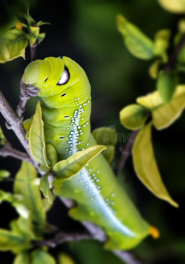 Oleander Hawk Moth Caterpillar. stock images