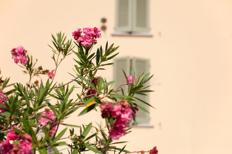Oleander In Italy Stock Image