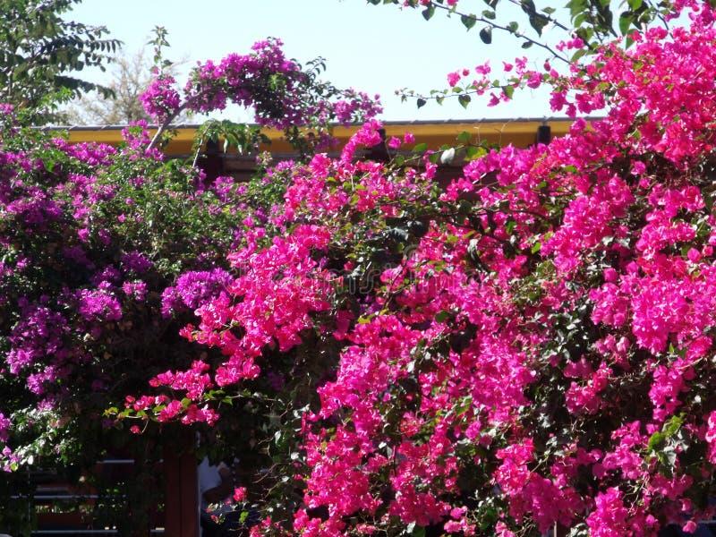 Oleander - Kreta fotografering för bildbyråer