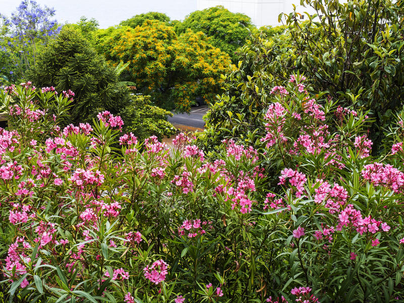 Oleander Kwitnie w Funchal maderze obraz royalty free