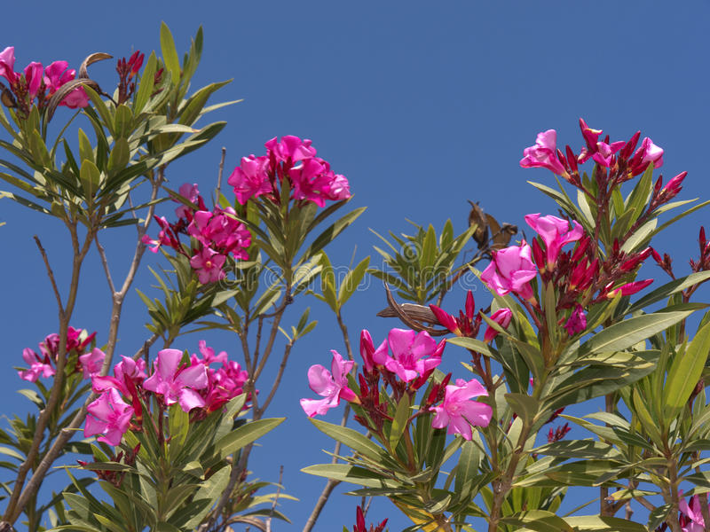 Oleander at Nature Reserve at Skala Kalloni Lesvos Greece. The Greek Island of Lesvos or Lesbos is situated just off the Coast of Turkey. The island is the 3rd stock photo