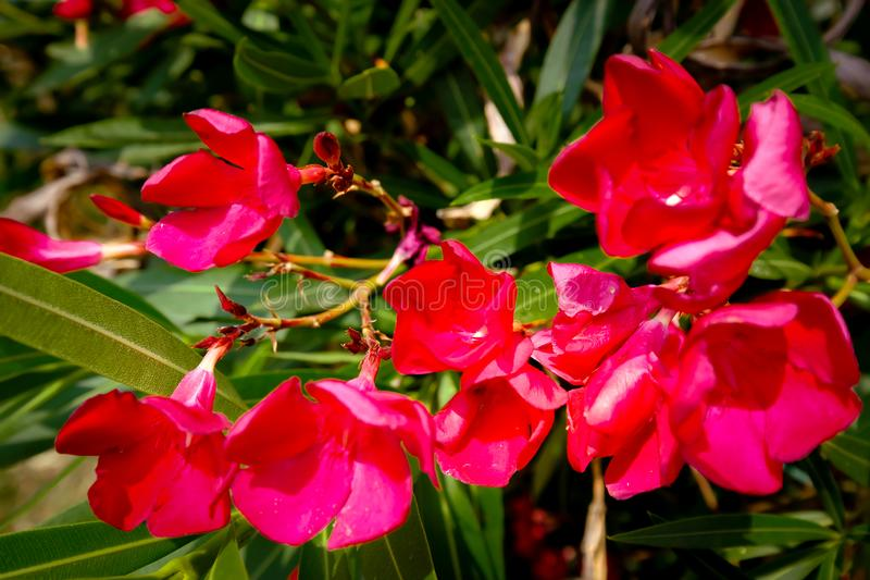 Nerium oleander blooming in red. The oleander Nerium oleander, also called rose lorbeer, is the only species of plant genus Nerium within the family of dog royalty free stock images