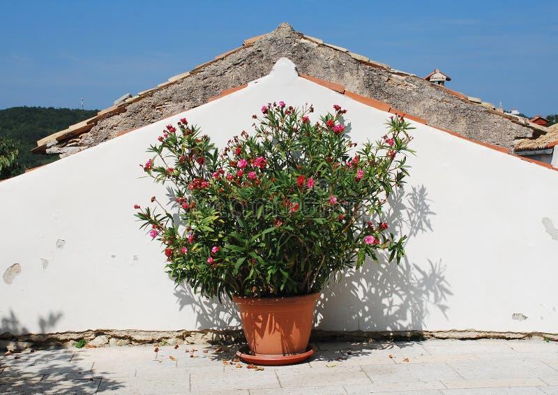 Oleander in Pican royalty-vrije stock afbeelding