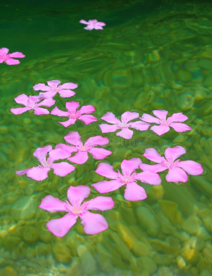 Oleander pink flowers floating in river royalty free stock image