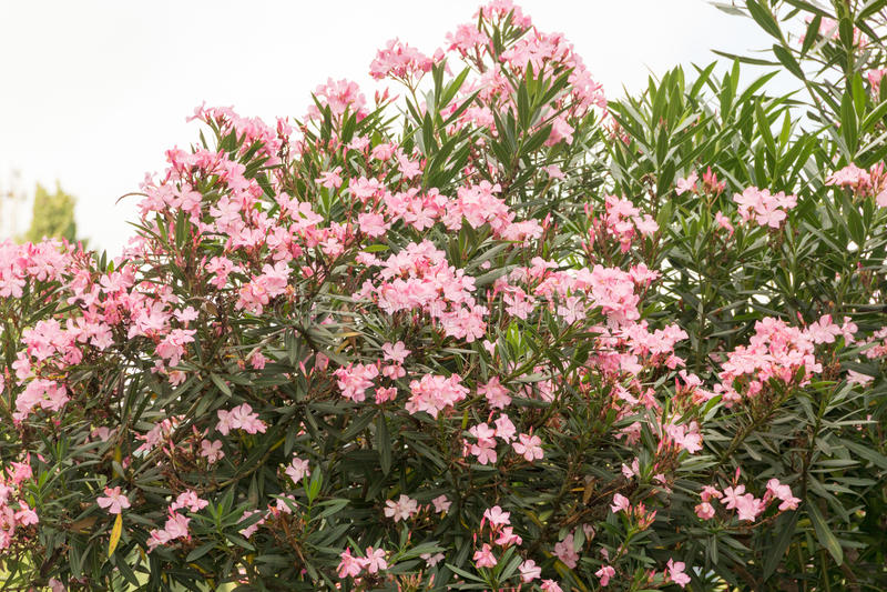Oleander stock photos