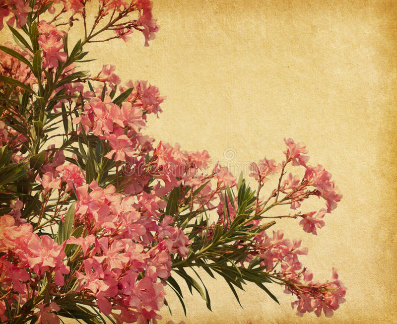 Download Oleander stock photo. Image of material, macro, freshness - 33716150