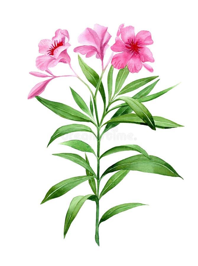 Oleander roze bloem stock illustratie