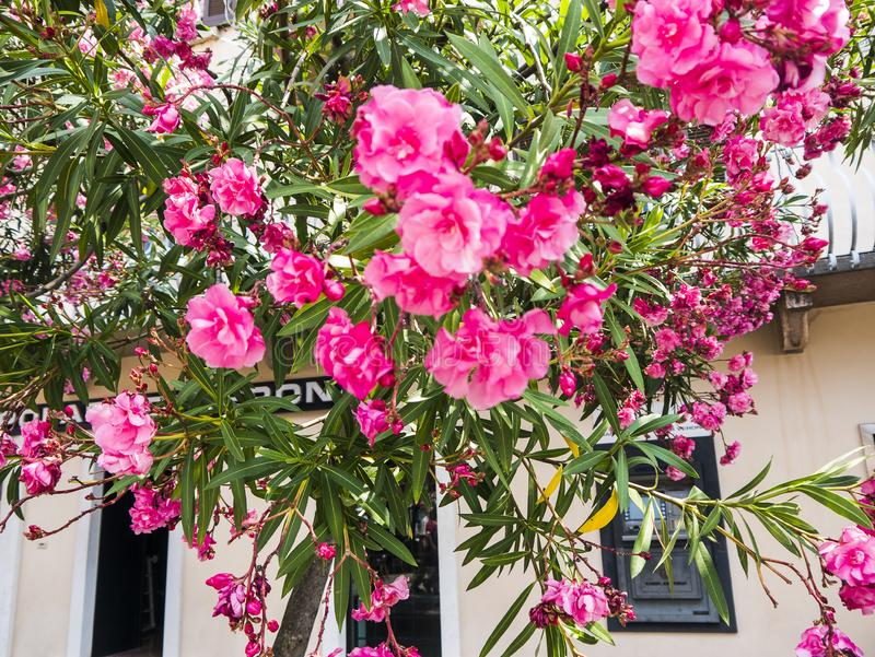 Oleander tree on the quay in the lovely town of Malcesine on Lake Garda where is famous castle guards the entrance to its harbour. Lake Garda is a popular royalty free stock image