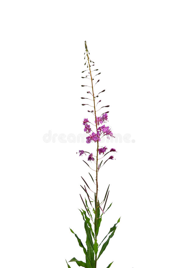Oleander Willowherb (angustifolium Epilobium) royalty-vrije stock afbeeldingen