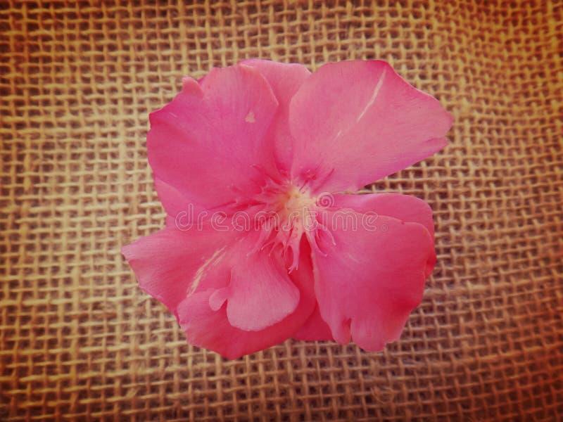 Oleanderbloem royalty-vrije stock afbeeldingen