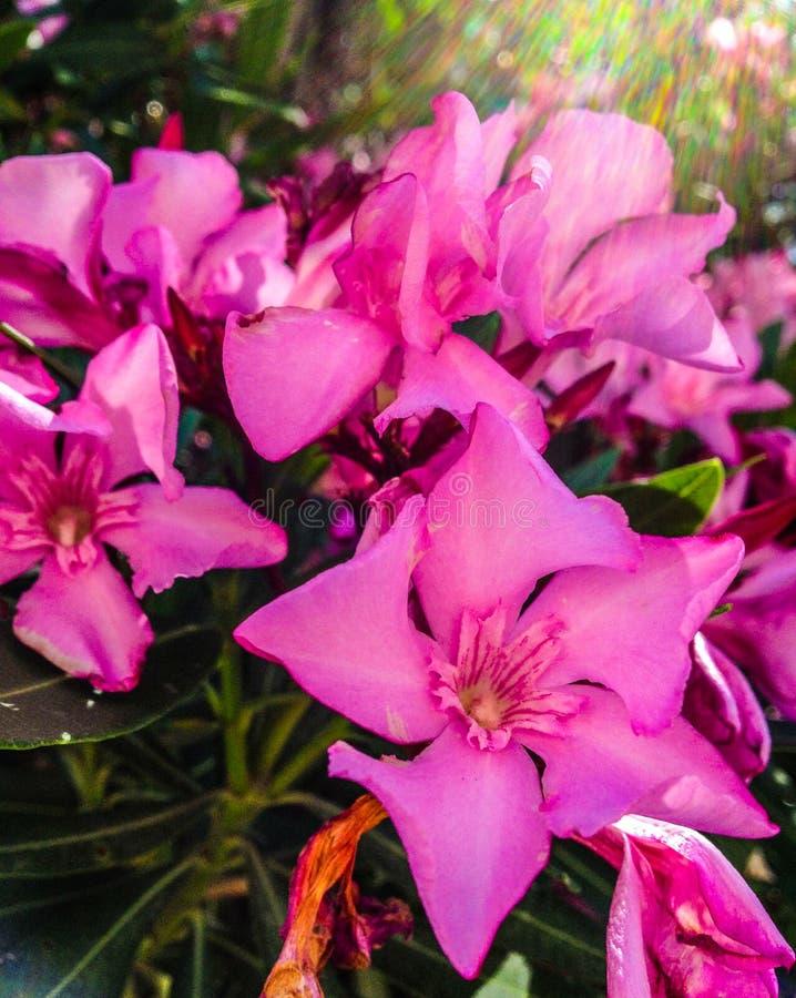 Oleanderbloem stock afbeeldingen