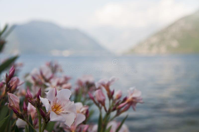 Oleanderbloem op vage achtergrond Baai van Kotor montenegro stock fotografie