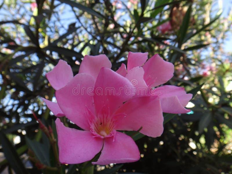 Oleanderbloem - Roze stock afbeeldingen