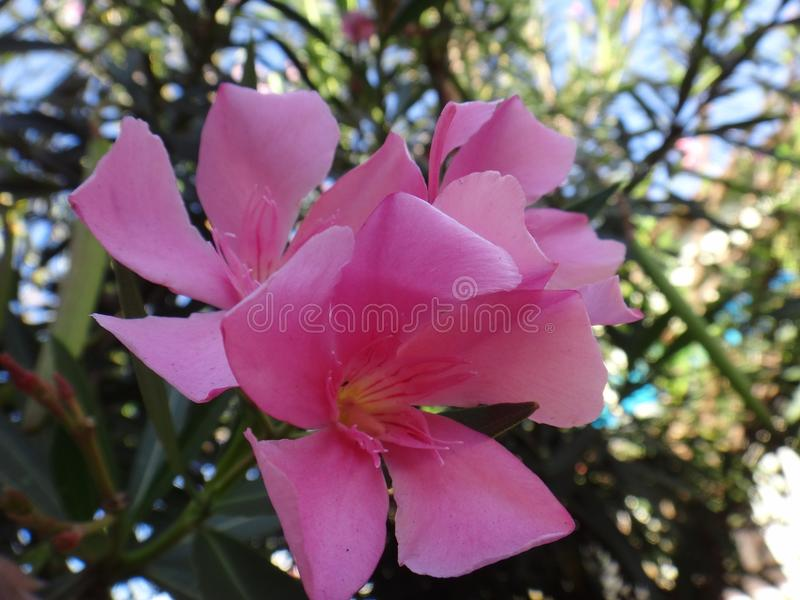 Oleanderbloem - Roze royalty-vrije stock foto