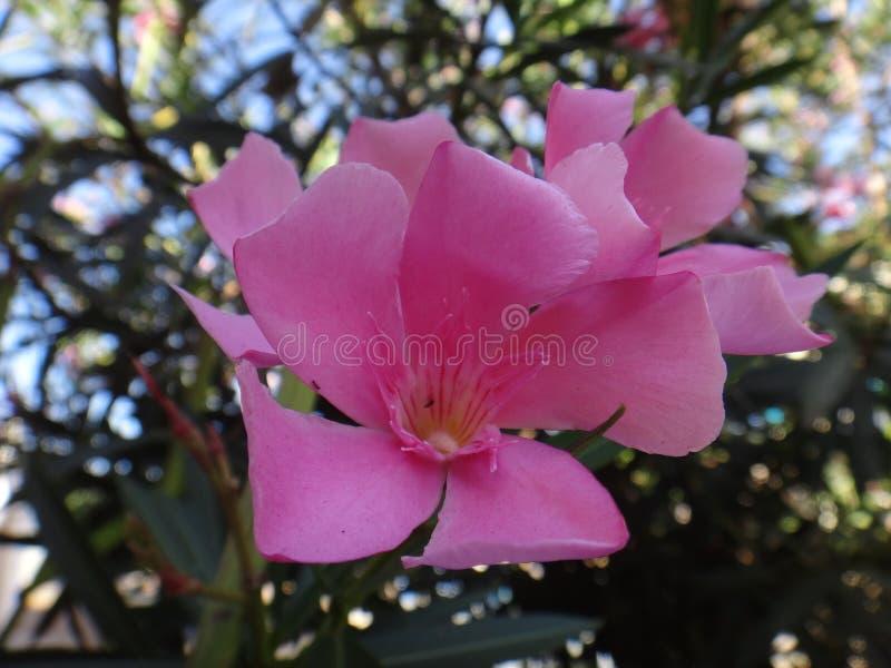 Oleanderbloem - Roze royalty-vrije stock foto's