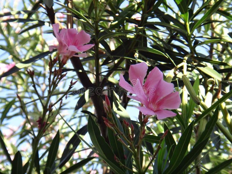 Oleanderbloem - Roze royalty-vrije stock afbeeldingen