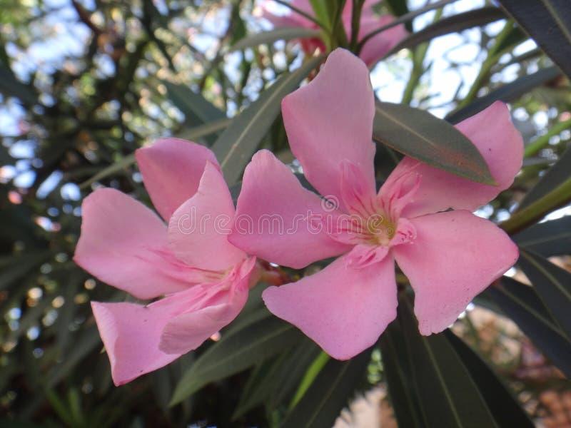 Oleanderbloem - Roze royalty-vrije stock fotografie