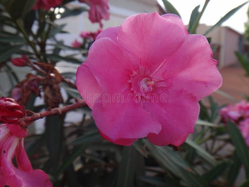 Oleanderbloem - Roze stock foto