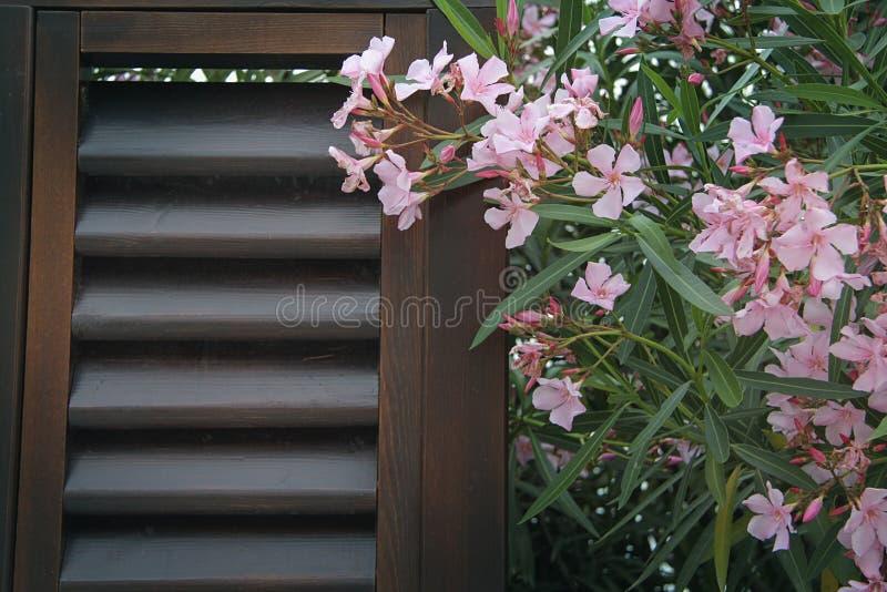 Oleanderbloemen royalty-vrije stock foto's