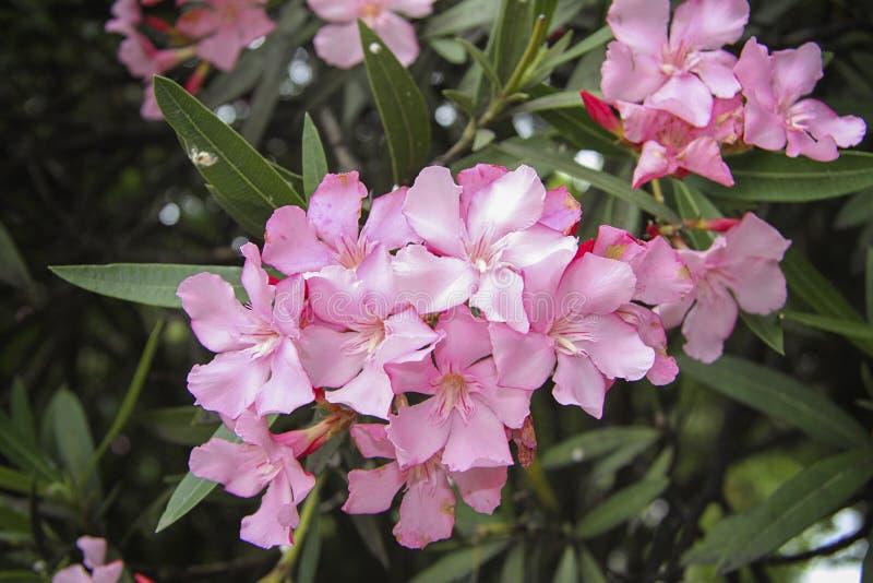 Oleanderbloemen stock afbeelding