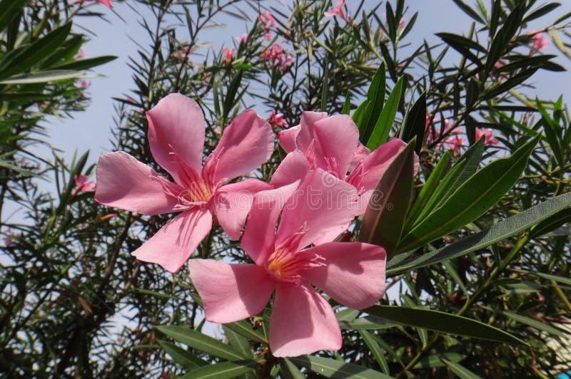 Oleanderblomma - rosa färg royaltyfri bild