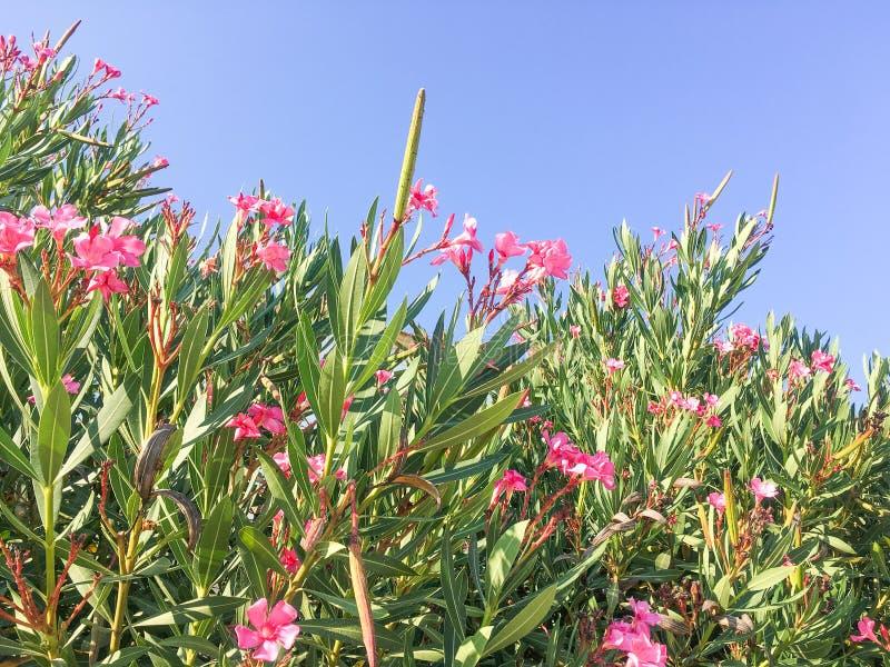 Oleanderbuskar som blommar i närbild royaltyfria bilder