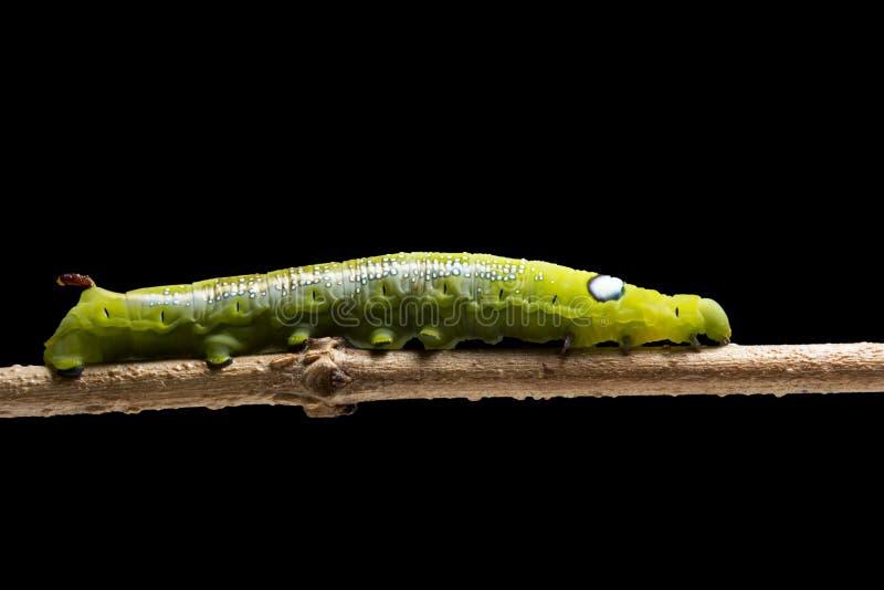 Oleanderhök-mal Caterpillar eller Caterpillar Daphnis för armégräsplanmal nerii, Sphingidaeklättring på växten som isoleras på sv royaltyfria bilder