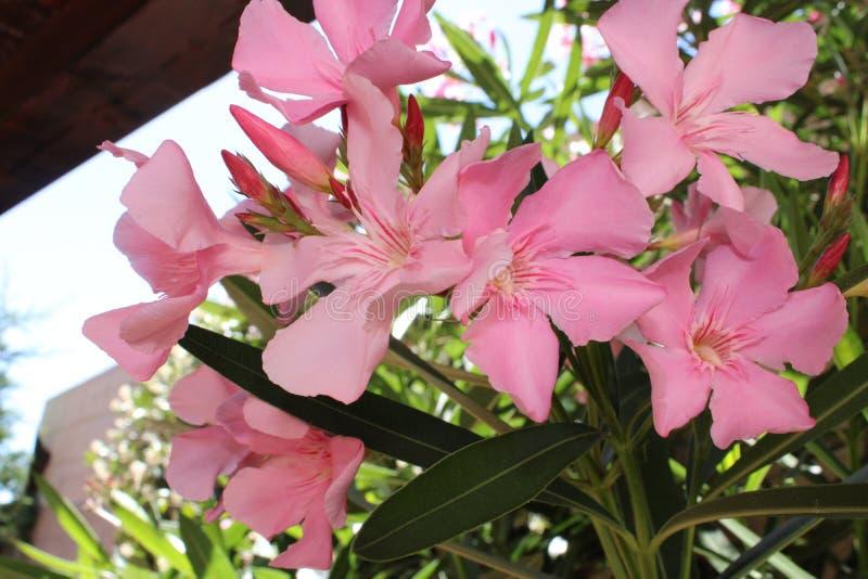 Oleandery kwitną w ogródzie zdjęcia royalty free