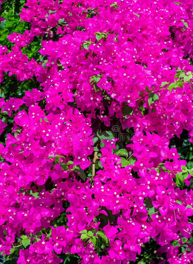 Oleandro cor-de-rosa das flores do arbusto fotos de stock